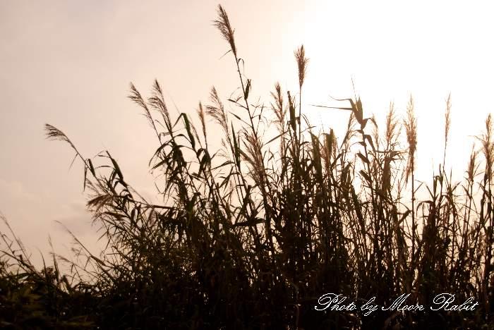 加茂川河畔の葦 (あし、よし) 愛媛県西条市古川