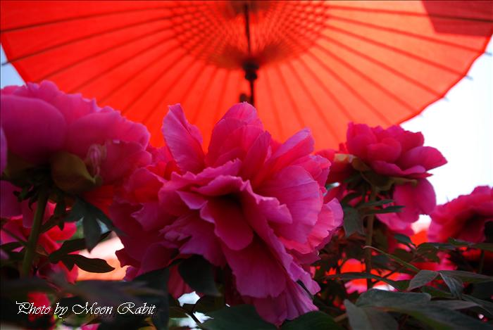 法安寺の千本牡丹(ボタン) 愛媛県西条市小松町北川157