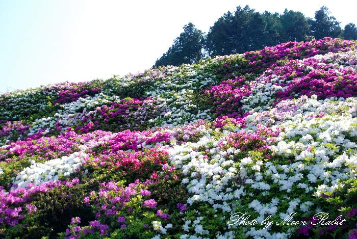 ツツジ(躑躅) 西条市市民の森 愛媛県西条市福武乙27-6