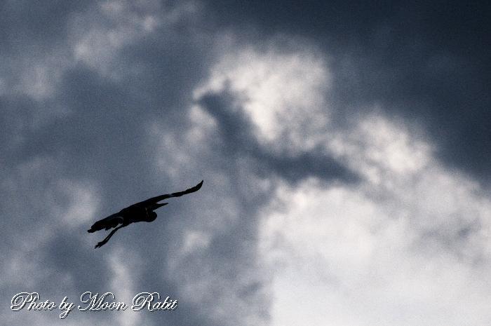 飛ぶ青鷺(アオサギ) 愛媛県西条市港新地