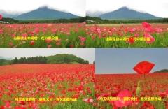 poppy2013-9001.jpg