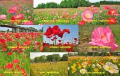 poppy2015-9001.jpg