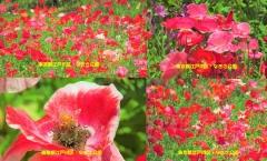 poppy2017-9001.jpg