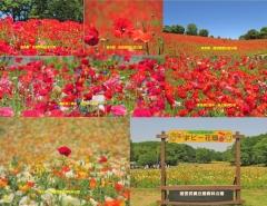 poppy2018-9001.jpg