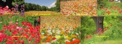 poppy2019-9001.jpg