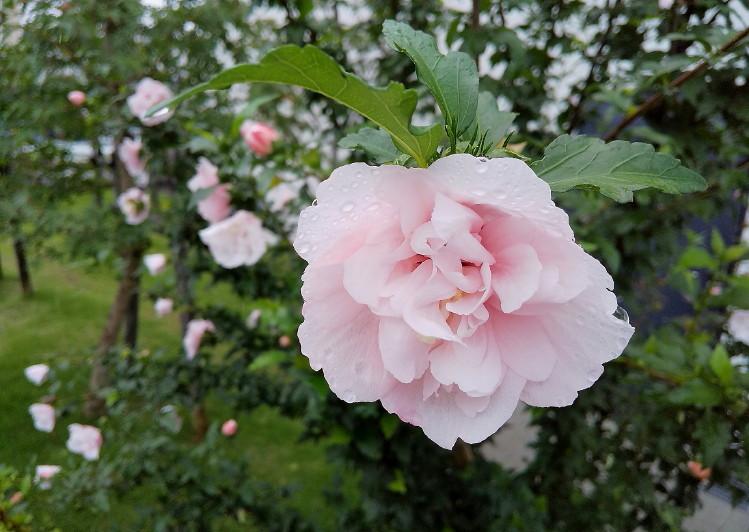DSC_0729_八重咲きのムクゲ