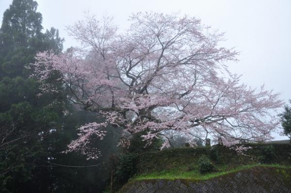 4苗代桜200327