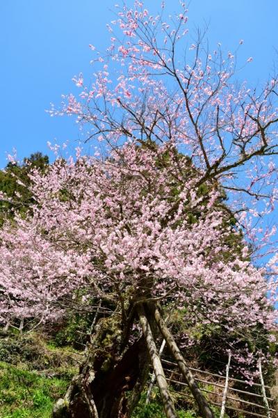 11用の山桜200329