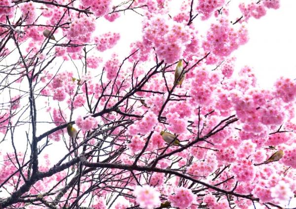 7寒桜210226
