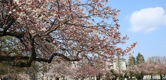 20年4月8日桜